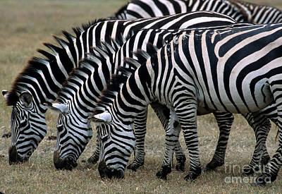 Common Zebras Grazing Poster
