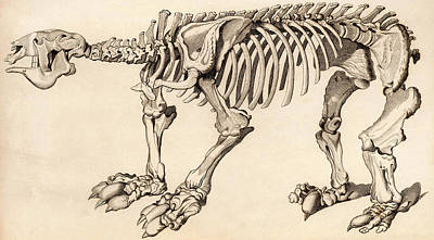Composite Skeleton Of A Megatherium Poster by Universal History Archive/uig