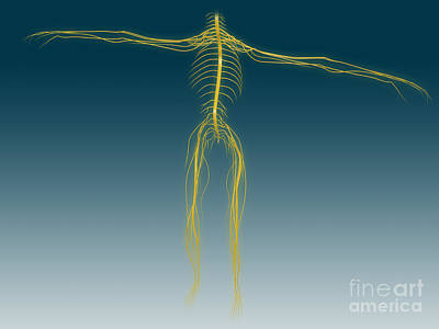 Conceptual Image Of Human Nervous Poster by Stocktrek Images