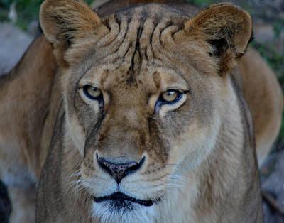 Concerned Lioness Poster