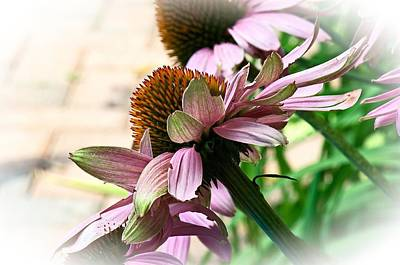 Cone Flower 6 Poster