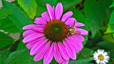 Cone Flower An Bumble  Poster by Brittany Perez