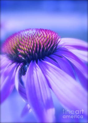 Cone Flower In Pastels  Poster by Linda Bianic