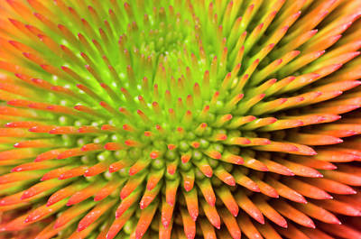 Coneflower Abstract Poster
