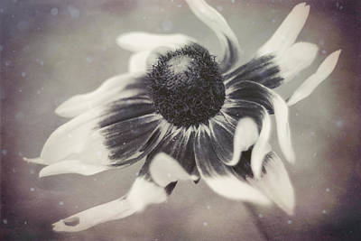 Coneflower In Monochrome Poster