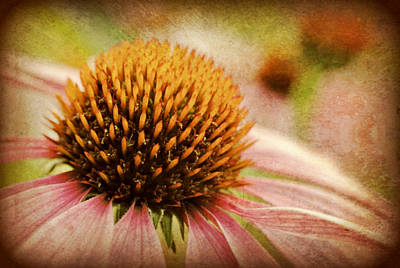 Coneflower Poster by Kelly Nowak