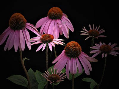 Coneflowers Poster by Judy  Johnson