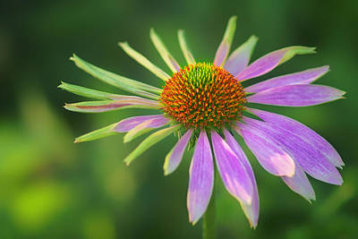 Conflicted - Identity Crisis - Coneflower Poster