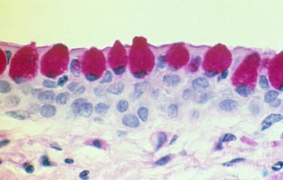 Conjunctival Goblet Cells, Lm Poster by Ralph C. Eagle, Jr.