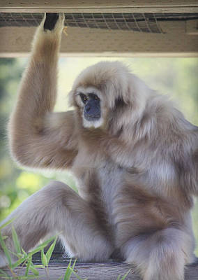 Contemplating Gibbon Poster by Melanie Lankford Photography