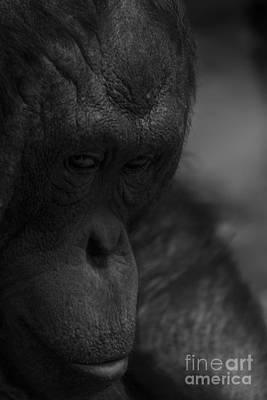 Contemplating Orangutan Poster