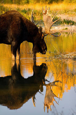 Poster featuring the photograph Contemplative Moose by Aaron Whittemore