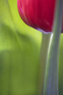 Contemporary Tulip Close Up Poster by Natalie Kinnear