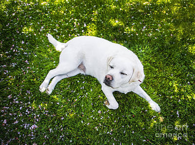 Contented Dog Poster by Diane Diederich
