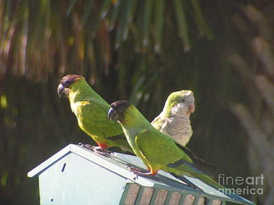 Conure Parrots And Quaker Parrot Share A Feeder Poster