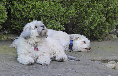Poster featuring the photograph Havanese Dog Sisters B by Laurie Tsemak