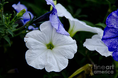 Poster featuring the photograph Cool Summer Petunias by Wilma  Birdwell