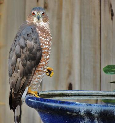 Coopers Hawk 4 Poster by Helen Carson