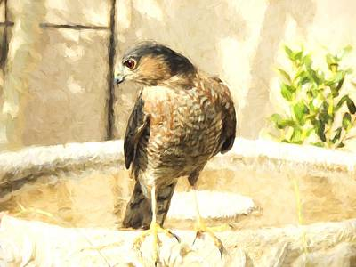 Cooper's Hawk At The Birdbath Poster