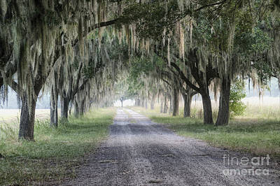 Coosaw Fog Avenue Of Oaks Poster