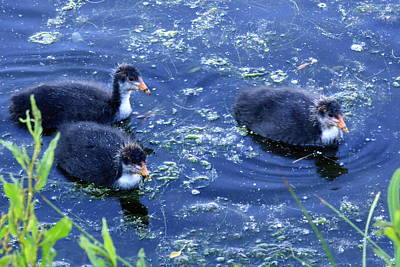 Coot Chicks Fulica Atra Poster by Kevin F Cook