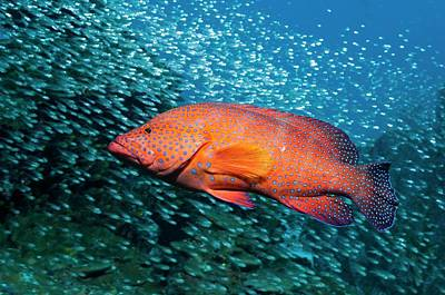 Coral Hind And Pygmy Sweepers Over A Reef Poster