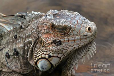 Coral-tinged Iguana Dreams Poster by Lynn Palmer