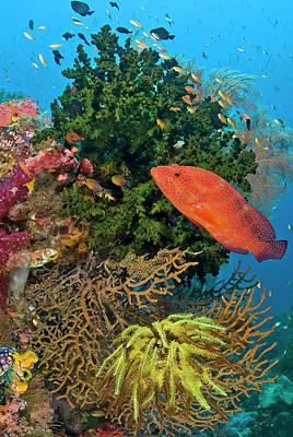 Coral Trout (plectropomus Leopardus Poster
