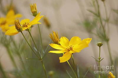 Poster featuring the photograph Coreopsis by Trina  Ansel