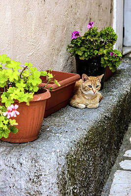 Corfu, Greece Orange Tabby Cat Lays Poster