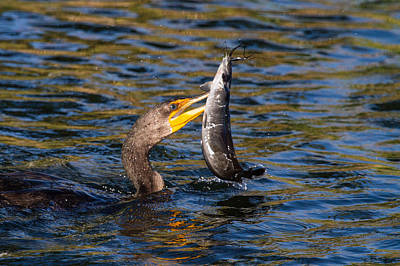 Cormorant And Its Meal Poster