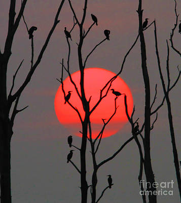 Cormorants At Sunrise Poster by Roger Becker