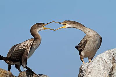 Cormorants Fight Poster by Alex Sukonkin