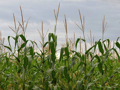 Poster featuring the photograph Corn Field by Laurel Powell