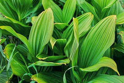 Corn Lilies Glacier National Park Poster