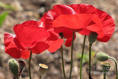 Poster featuring the photograph Corn Poppies by Michele Penner