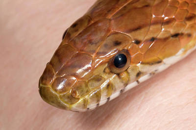 Corn Snake Or Red Rat Snake Head Close-up Poster by Nigel Downer