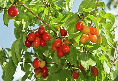 Cornelian Cherries (cornus Mas) On A Tree Poster by Bob Gibbons