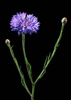 Cornflower (centaurea Cyanus) Poster by Gilles Mermet