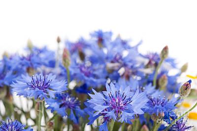 Blue Cornflower Flowerheads Isolated On White  Poster