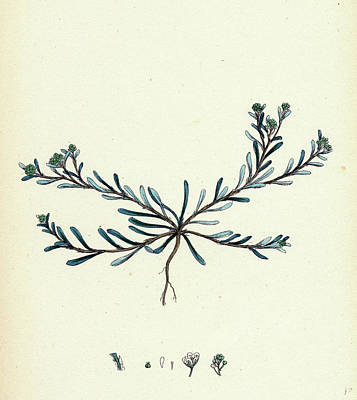 Corrigiola Littoralis Sand Strap-wort Poster