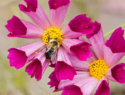 Cosmos And Bee Poster