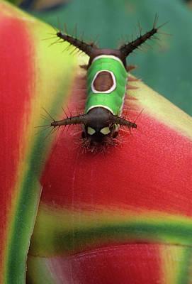 Costa Rica, Close-up Of Caterpillar Poster