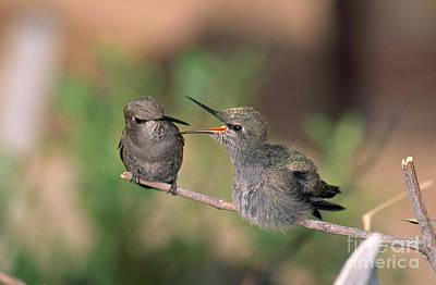 Costas Hummingbird Feeding Young Poster
