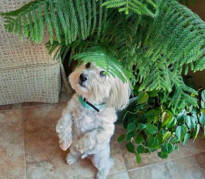 Coton De Tulear Dog Begging Poster