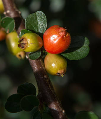 Cotoneaster Fruit 2 Poster by Douglas Barnett