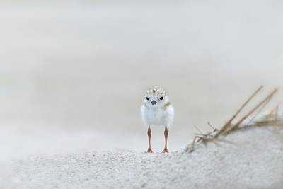Cotton Ball With Legs Poster by Don Schroder