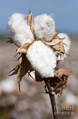 Cotton Bolls  Poster by Hagai Nativ