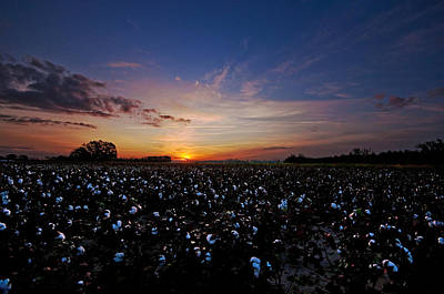 Cotton Field Sunrise Poster