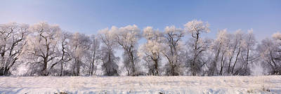 Cottonwood Trees Covered With Snow Poster